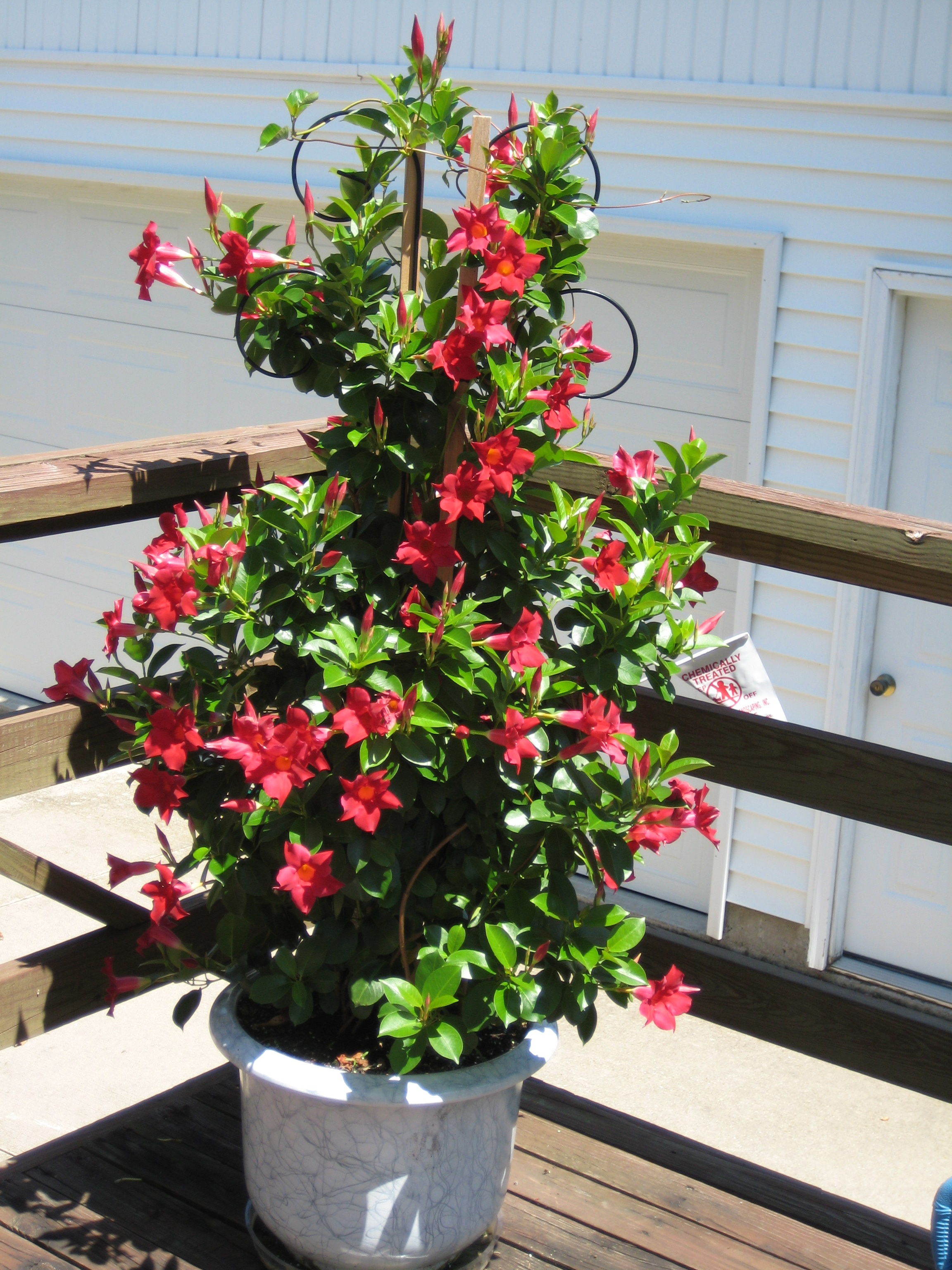 Mark austin homes mandevilla - Container gardens for sun ...